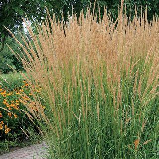 Calamagrostis 'Karl Foerster'