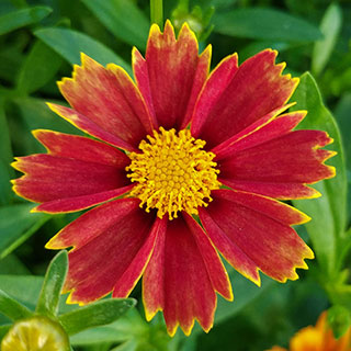 Coreopsis Big Bang™ 'Enchanted Red'