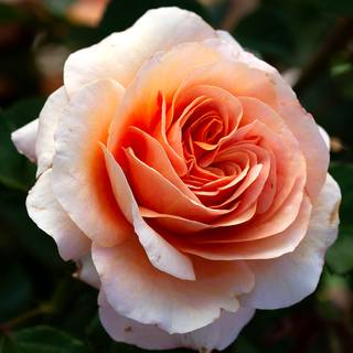Double Easy Orange Floribunda Rose Image