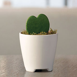 Hoya Heart Succulent Gift