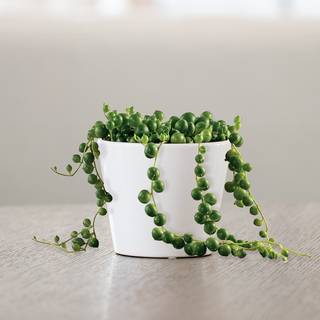 String of Pearls Succulent Gift Image