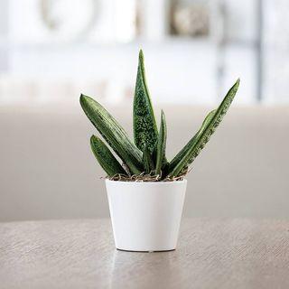 Gasteria Succulent Gift