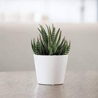 Haworthia Succulent Gift