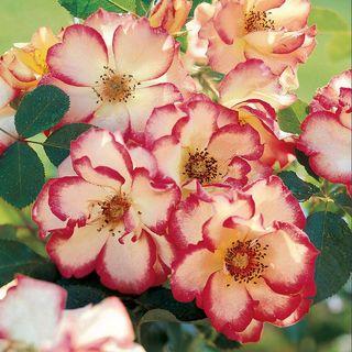 Betty Boop™ Floribunda Rose Image