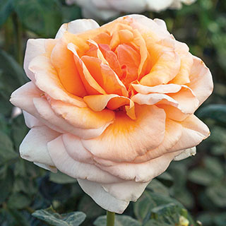 Apricots n' Cream™ Hybrid Tea Rose