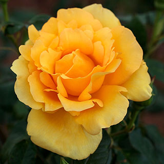Gold Struck™ Hybrid Tea Rose Image