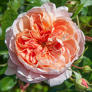 Colette™ Climbing Rose Image
