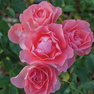 Passionate Kisses® Hybrid Tea Rose Image