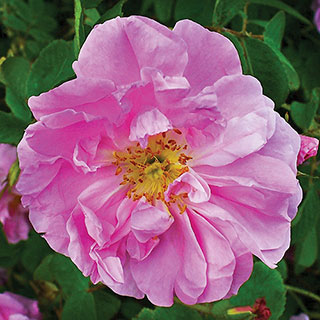 Pink Pavement Hybrid Rugosa Rose