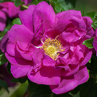 Purple Pavement Hybrid Rugosa Rose Image