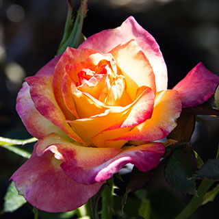 True Sincerity Floribunda Shrub Rose Image