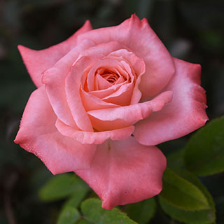 True Integrity Floribunda Shrub Rose Image