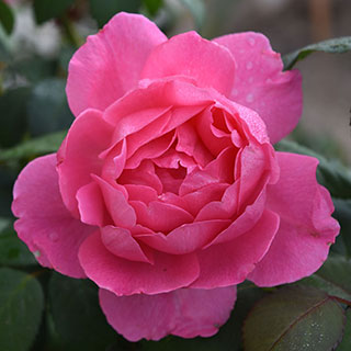 True Inspiration Hybrid Tea Shrub™ Rose Image