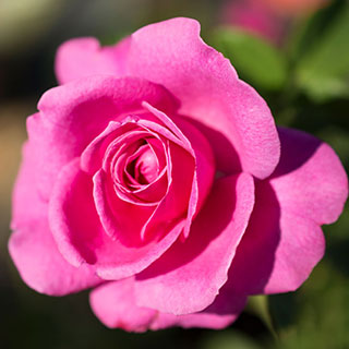 True Gratitude Climbing Rose