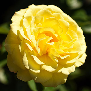 True Friendship Floribunda Shrub Rose Image