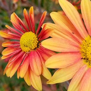 Chrysanthemum 'Campfire Glow'