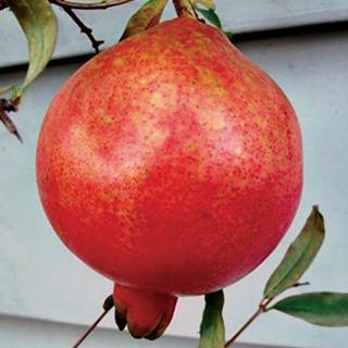Punica Pomegrante Parfianka