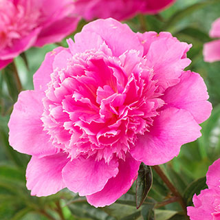Paeonia 'Bouquet Perfect' Image