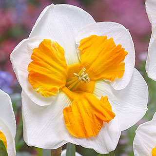Narcissus 'Tricollet' Image