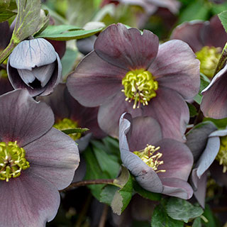 Helleborus 'Vegas Nights' HONEYMOON® Series Image