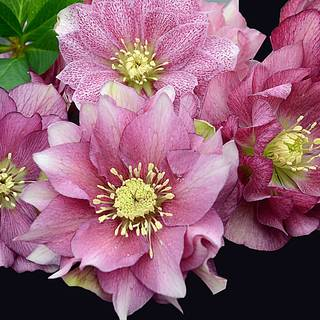 Helleborus 'Maid of Honor' WEDDING PARTY® Series