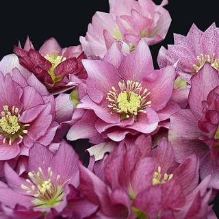 Helleborus 'Maid of Honor' WEDDING PARTY® Series Image