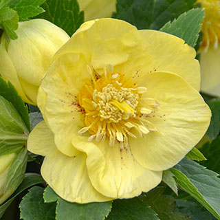 Helleborus 'California Dreaming' HONEYMOON® Series Image