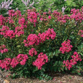 Bellini® Raspberry Lagerstroemia Image