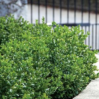 Green Velvet Boxwood Image