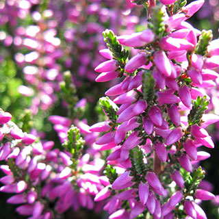 Calluna Beauty Ladies® 'Renate'