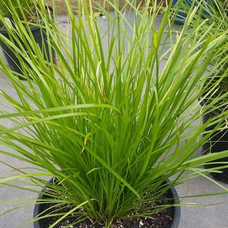 Lomandra 'Losgr-1' HIGHLIGHT™ Olive Green Image