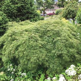 Acer var. dissectum 'Waterfall' Image