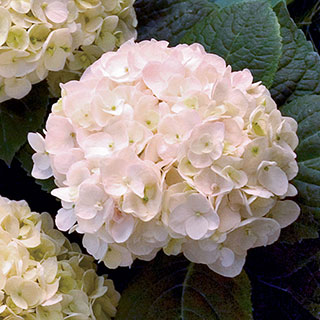 Hydrangea Endless Summer® 'Blushing Bride' Image