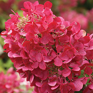 Hydrangea 'Rendia' First Editions® Diamond Rouge®