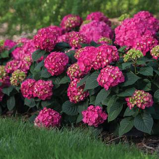 Hydrangea 'Bailmacfive' Endless Summer® Summer Crush® Image