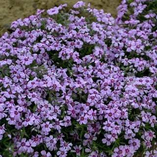 Phlox 'Eye Candy' Image