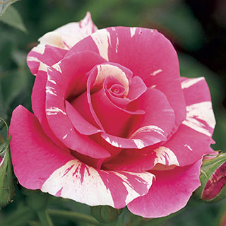 Candy Land Climbing Rose Image