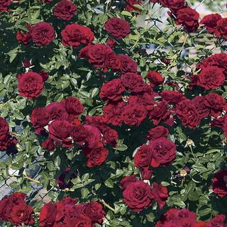 Valentine's Day™  Climbing Rose Image