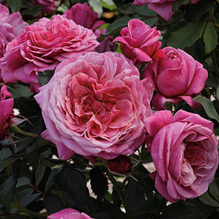 Queen of Elegance™ Floribunda Rose Image