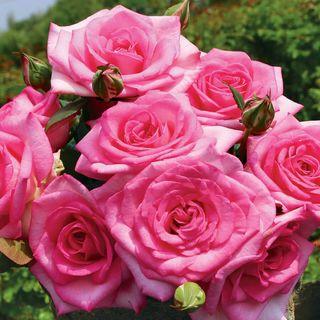 Beverly™ Eleganza® Hybrid Tea Rose Image