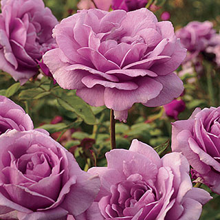 Sugar Plum 36-Inch Tree Rose Image