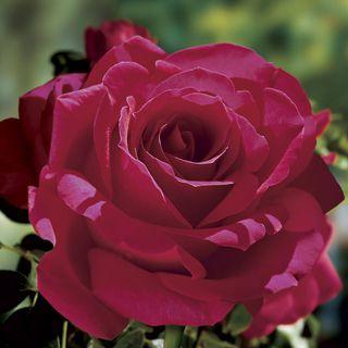 Voluptuous! 24-Inch Patio Tree Rose Image