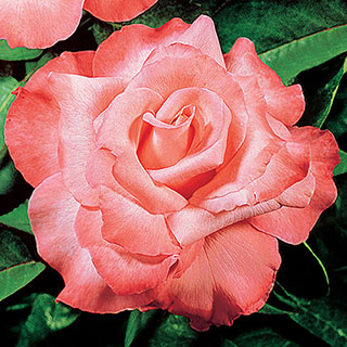 Touch of Class Hybrid Tea Rose Image