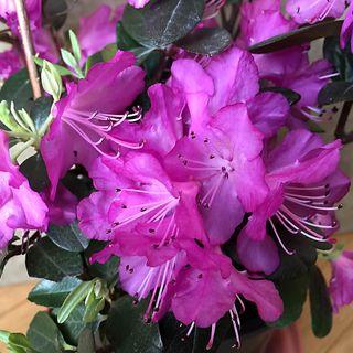 Rhododendron 'PJM Elite' Image