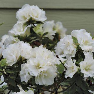 Rhododendron PERFECTO MUNDO® Double White Azalea Image