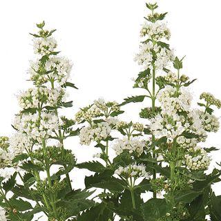 Caryopteris Pavilion™ White Image