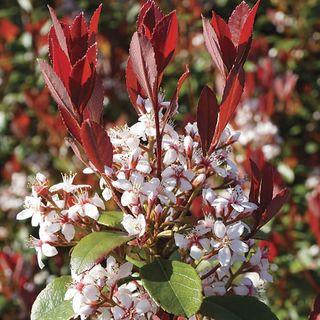 Rhaphiolepsis Redbird™ Image