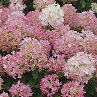 Hydrangea FIRE LIGHT TIDBIT™ Image
