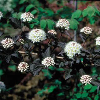 Physocarpus Diabolo® Image