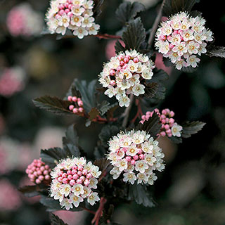 Physocarpus Summer Wine® Image